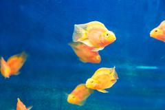 red parrot cichlid - stock photo