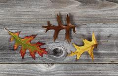 oak leafs with different fall season colors - stock photo