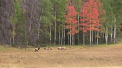 Elk Herd in Fall landscape - stock footage