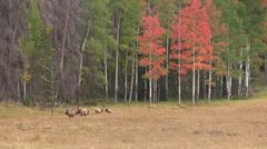 Bull  Elk and cows in Fall Landscape - stock footage