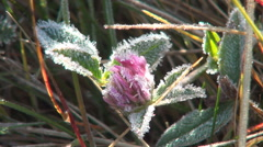 Beautiful frost flower in autumn cold morning. Frozen flower with ice crystals. Stock Footage
