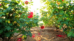 4K Motion Controlled Dolly Time Lapse of Mission Santa Barbara & Roses Tilt Down Stock Footage