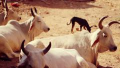 Stray cows resting in an alley, India. Stock Footage