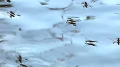 Pond Skater Insects Stock Footage