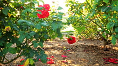 4K Motion Controlled Dolly Time Lapse of Mission Santa Barbara over Roses Stock Footage