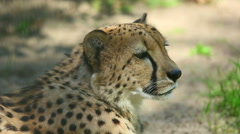 Young cheetah lying in the sand Stock Footage