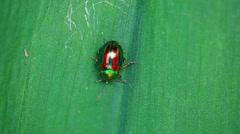 Brilliant iridescent beetle on a leaf - stock footage