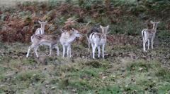 Fallow Deer Stock Footage