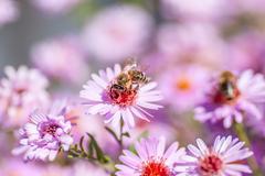 Bee on purple flower collect honey Stock Photos