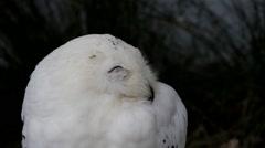 Snowy Owl Stock Footage