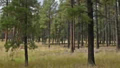Stock Video Footage of Zoom in on Poderosa Pine Forest