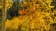 4K Aspen Forest 05 Fall Foliage in Grand Canyon North Rim USA Stock Footage