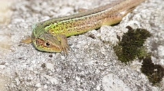 A wall lizard lying on a stone and feels threatened - stock footage
