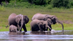 Herd of Elephants Drinking at the River Stock Footage