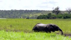 Elephant taking Mud Bath Stock Footage