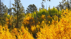 4K Aspen Forest 08 Fall Foliage in Grand Canyon North Rim USA Stock Footage