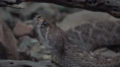 4K Rattlesnake Tongue Close up Stock Footage