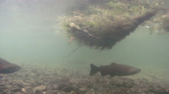 Coho Salmon Return to Their Home Stream to Drink Heavily Stock Footage