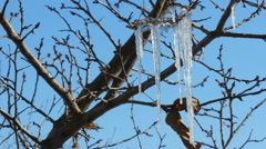 Icicles Coated Branches Stock Footage