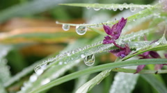 Dew drops on flower and grass macro Stock Footage