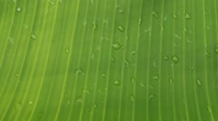 Dew on a banana leaf Stock Footage