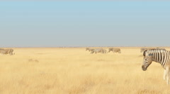 Zebras walking through the savannah crossing the frame uhd 4k Stock Footage