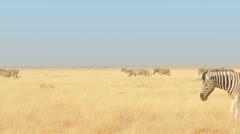 Zebras walking through the savannah crossing the frame uhd 4k Stock Footage