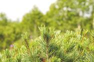 Stock Photo of fur-tree in wood