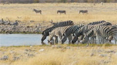 Zebras herd drinking at the waterhole with caution  uhd 4k Stock Footage