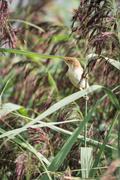 reed warbler - stock photo