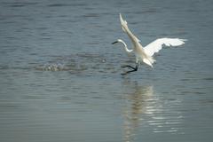 Great white egret, ardea alba. Stock Photos
