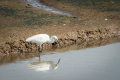 Great white egret, ardea alba. Stock Photos