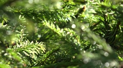 Close up of Pine Branches in Morning Dew for Christmas, Xmas, Holiday, Gifts 4K Stock Footage