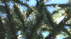 Close up of Pine Branches in Morning Dew for Christmas, Xmas, Holiday, Gifts Stock Footage