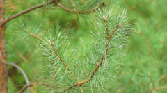 Pine needles blowing in the wind Stock Footage