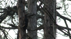 Woodpecker searches for insects on a tree in the mountain forest Stock Footage