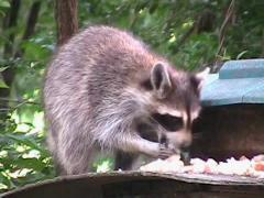 Raccoon Eating Bird Food Stock Footage