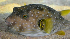 Puffer Fish Stock Footage