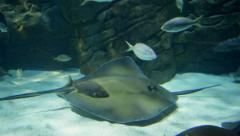 Stingrays swimming around Stock Footage