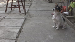 Very anxious little dog waiting for food, feed time countryside yard, food fight - stock footage