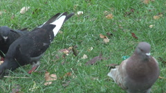 Closeup shot for pigeons feeding in park, green grass view, steadicam, animals  - stock footage