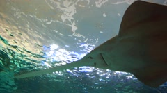 Sawfish Underwater Stock Footage