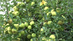 Apple Tree Branches, Yellow Ecological Fruits, Orchard, Rich Autumn Harvest 4K Stock Footage