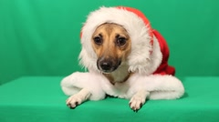 Little red doggy in christmas costume Stock Footage