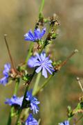 Cichorium closeup - stock photo
