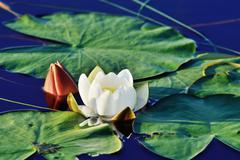 Nymphaea alba (water lily) Stock Photos
