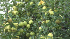Apple Tree, Branches of Yellow Ecological Fruits, Orchard, Rich Autumn Harvest Stock Footage