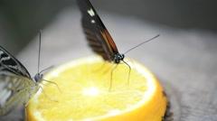 Heliconius melpomene, butterfly postman Stock Footage