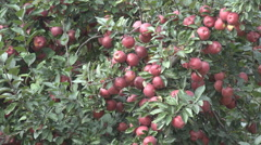 Apple Tree, Branches of Red Jonathan, Ecological Fruits, Orchard, Autumn Harvest Stock Footage