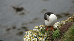 Cute puffin on the rocks in iceland Stock Footage